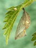 red-admiral-butterfly-chrysalis-2850